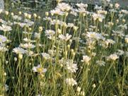 除虫菊の写真(小)